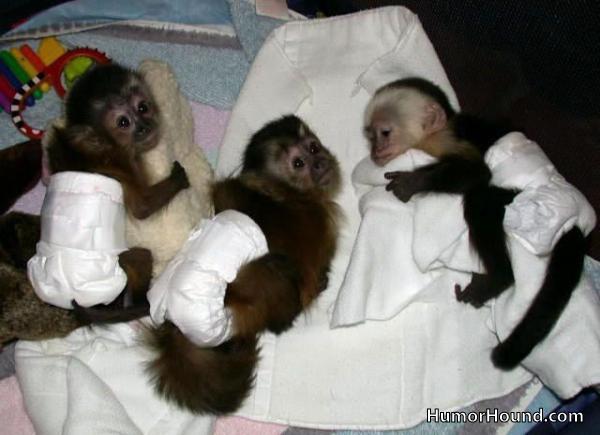 Cute Baby Monkeys in Diapers Cute Baby Monkeys in Diapers