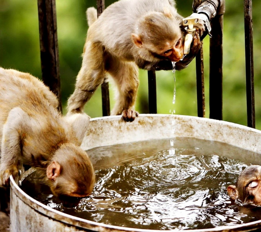 Funny Monkeys Drinking 21