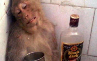 Funny Monkeys Drinking 9 400×250