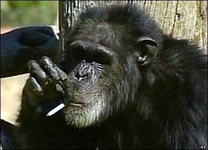 Funny Monkeys Smoking 15 416×300