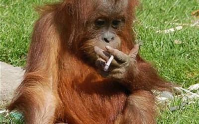 Funny Monkeys Smoking 2 400×250