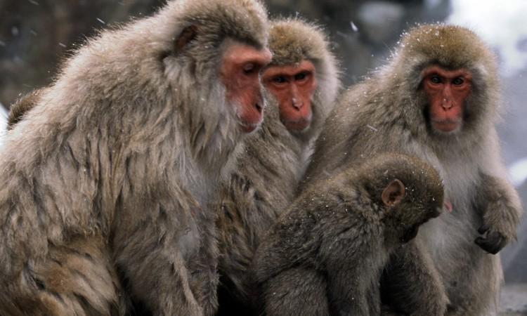 Monkey Wallpaper 46 750×450