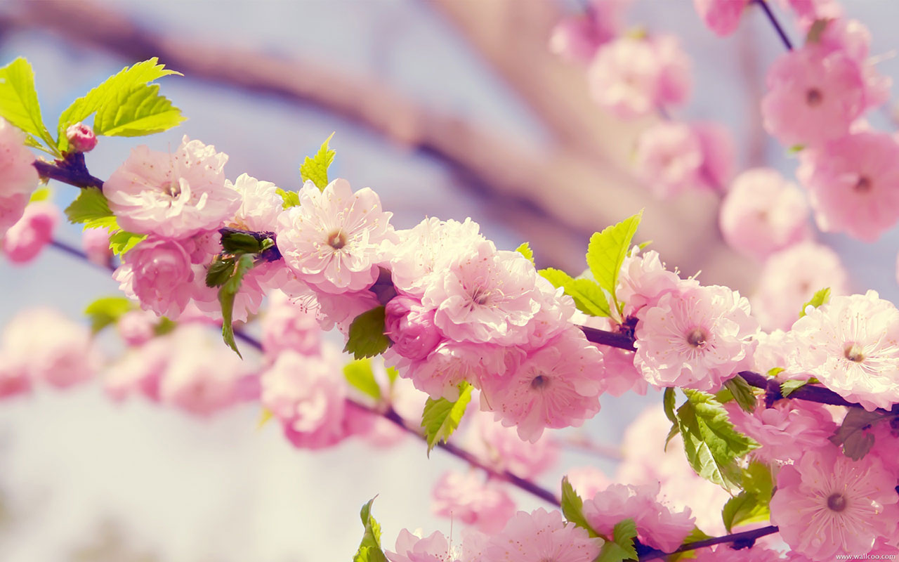 Beautiful Spring Flowers Wallpapers Spring Flowers Wallpaper Free