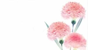Pink Carnations Wallpaper 4 300×169