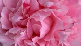 Pink Carnations Wallpaper 6 300×225