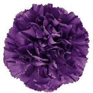 Purple Carnations 02 300×300