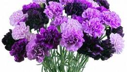 Purple Carnations 03
