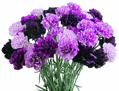 Purple Carnations 03
