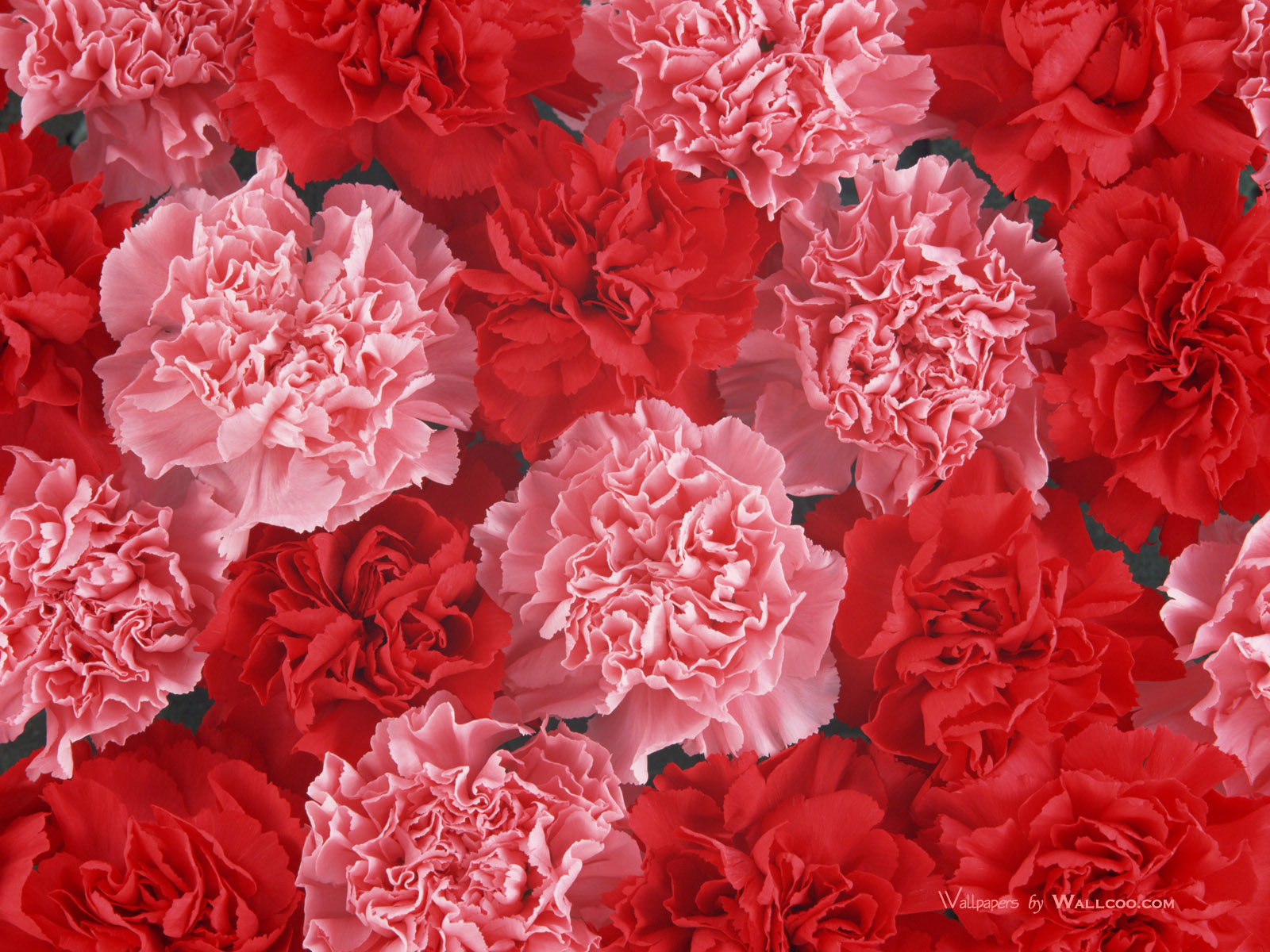 Red Carnations Wallpaper 4