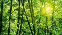 Bamboo Forest Wallpaper Vertical 5 300×208 262×148