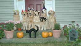 Golden Retriever Wallpaper Halloween