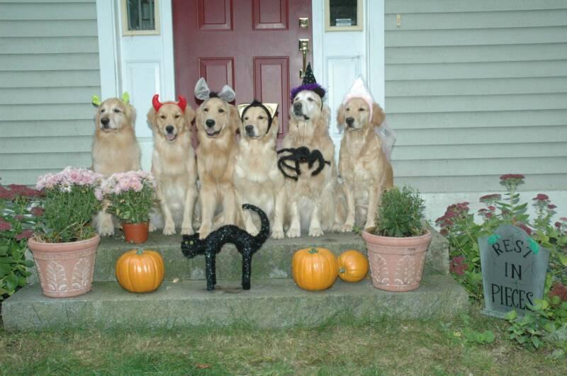 Golden Retriever Wallpaper Halloween